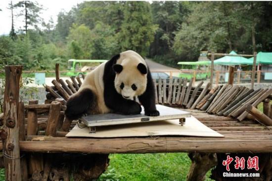 云南昆明动物园体检 熊猫思嘉破坏后卖萌【2】