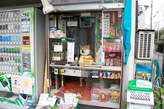 日本6岁柴犬帮主人看店卖香烟用鼻子开门(图)