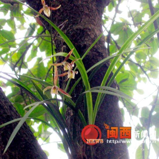 连城县太平橑村:兰花竟绽放在大树上(图)