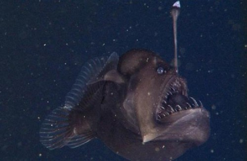 黑角安康鱼