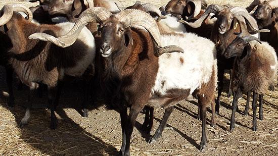 生态环保媒体行 河南县守着黄河弯 育得牛羊壮高清图片