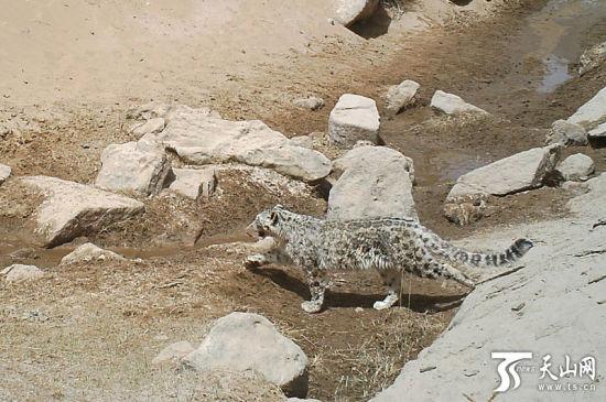 新疆罗布泊野骆驼保护区内拍摄到的雪豹。(图片由罗布泊野骆驼国家级自然保护区管理局提供)