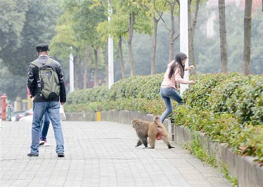 圖為:獼猴當街嚇唬女行人 記者王永勝攝