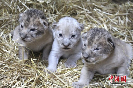 母狮生3只宝贝 出现一头罕见小白狮