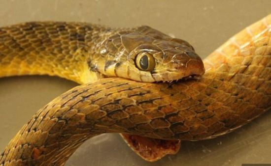 澳大利亚树蛇咬脖实拍自杀蛇吞蛇恐怖过程(表情动态包钓鱼小图片