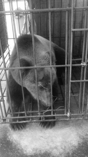 万宁破获一起偷运棕熊案 嫌疑人被取保候审