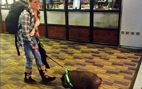 美国女子带猪安检上客机被赶下飞机(图)