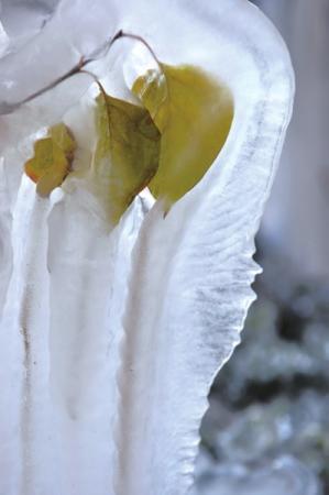 依着树叶形状结出的冰挂。