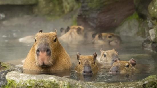 日本长崎水豚享受露天温泉贴近暖炉取暖(图)