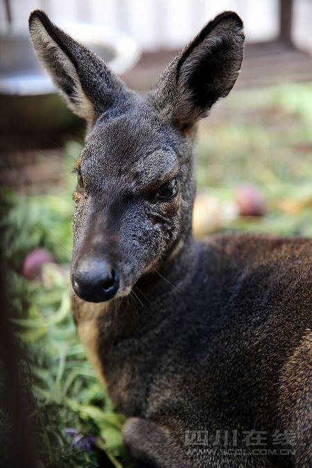 经美姑县大风顶保护区管理局专家鉴定,这只受伤的动物为国家一级保护