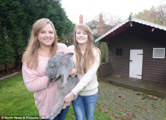 英国巨兔重达6公斤身长近1米 身材秒杀宠物狗
