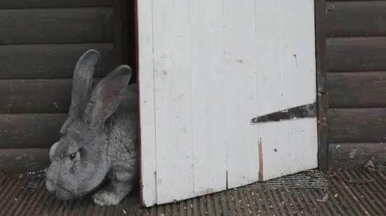 """英国""""巨兔""""体长近一米食量惊人爱吃零食(图)"""