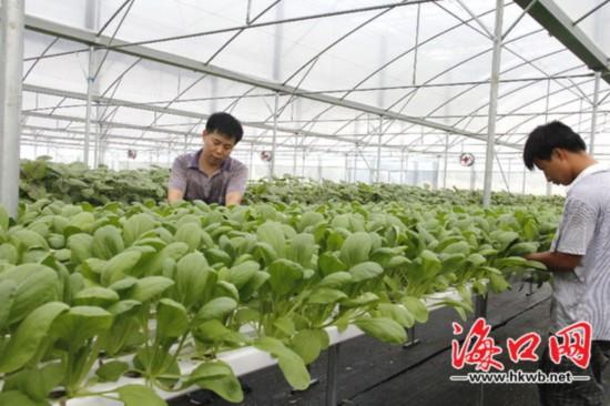 海口蔬菜市场自给率提高至71% 种植有望达43万亩