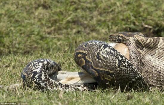 肯尼亚草原骇人一幕 近5米长巨蟒生吞小羚羊