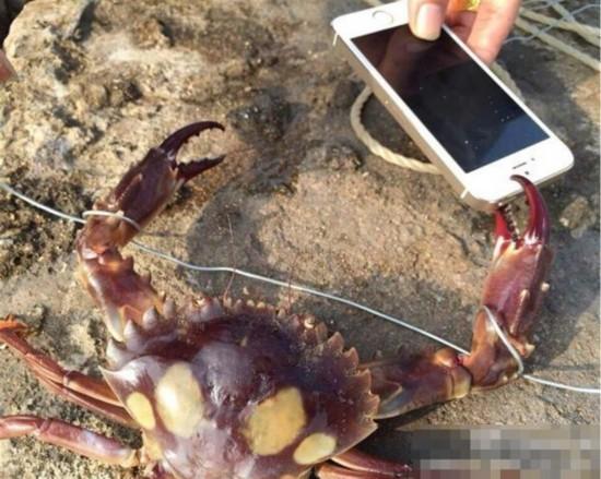 """有""""钳""""任性!网友拿iPhone逗螃蟹被夹碎"""
