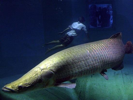 全球能吓死人的濒危巨型鱼类