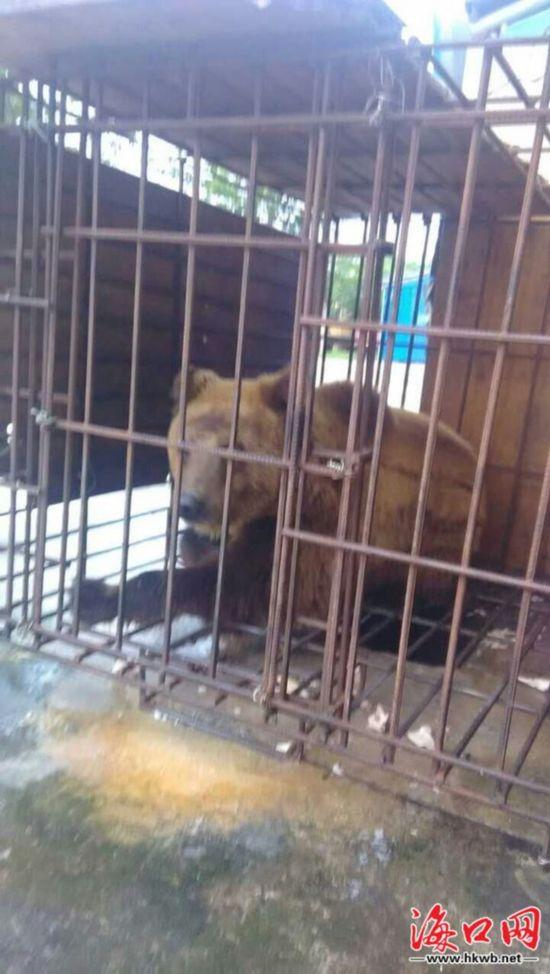 海南万宁一酒店10万元买头熊供客观赏被查扣