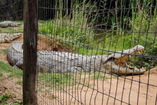 南非鳄鱼将过114岁生日创史上最长寿纪录(图)