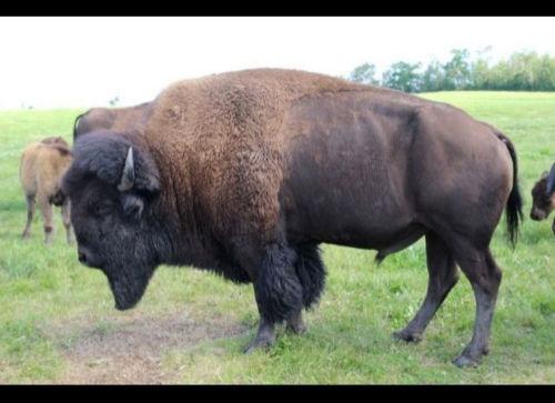 在出租車的幫助下,野牛僥幸逃脫了狼群的追捕。