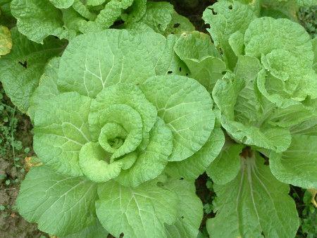 蔬菜有虫眼更健康吗