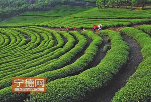 福安:茶旅结合催生特色乡村游一米长老鼠