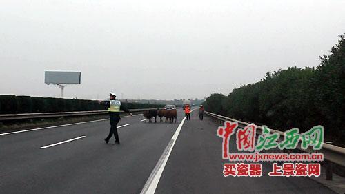 """江西一高速路上现牛群 交警客串""""放牛倌"""""""