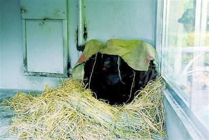 """成都动物园过冬:猩猩盖""""被子"""" 河马泡温泉"""