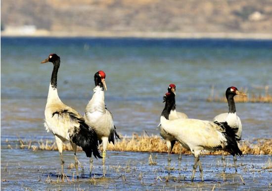 云南有8大黑颈鹤观赏地作为国家一级重点保护野生动物的黑颈鹤,是广大