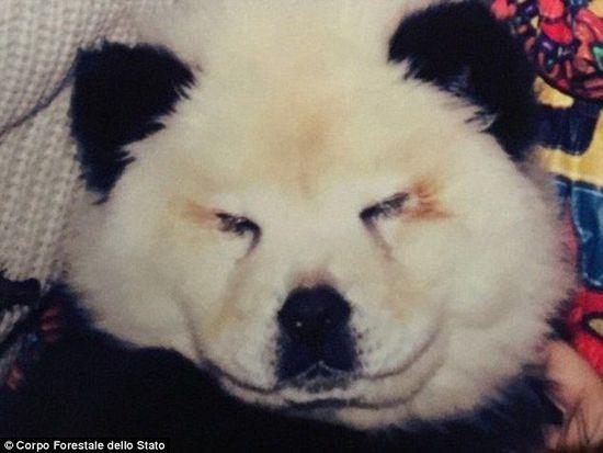 意大利马戏团将两只松狮犬装扮成熊猫骗钱