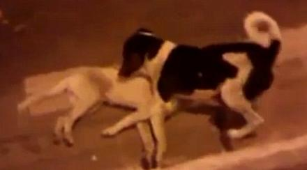 同伴街头被车撞死忠犬不顾危险守护尸体(图)