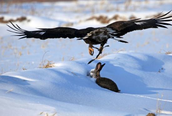 己的猎鹰捕捉兔