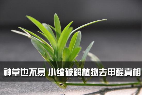 神草也不易 小编破解植物去甲醛真相
