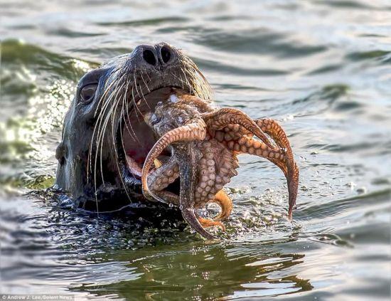 """海豹与章鱼上演""""生存之战"""""""