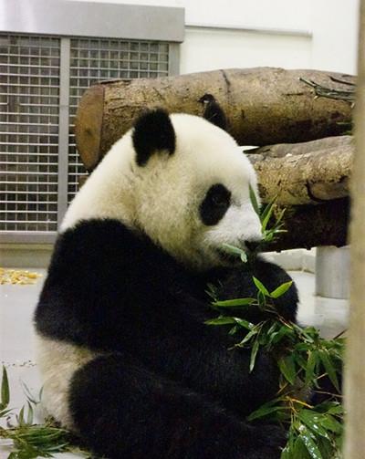 """台北动物园为让大熊猫""""圆仔""""独立延长独处时间"""