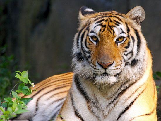 关于老虎的资料