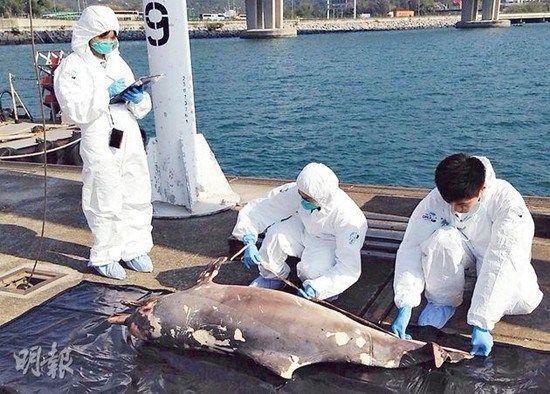 香港元旦动人一幕海豚围同伴尸体游弋不舍离去(图)