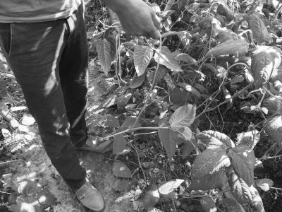 三亚:九亩豆角一夜间被毁了大半 警方介入