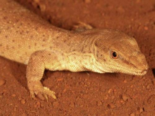 西澳发现世界最小巨蜥体重仅16克(图)
