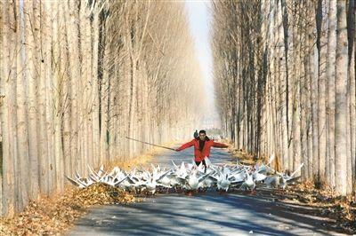 弹性学制,大学生创业,养鹅,北京市教委,改良农业