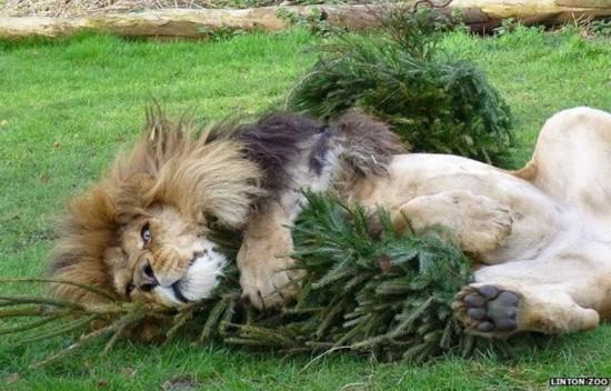 废弃圣诞树成狮子最爱玩具 紧抱不愿松手(图)