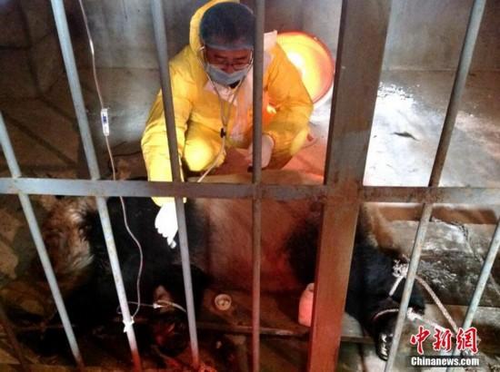 陕西圈养大熊猫感染犬瘟热已致2死【3】