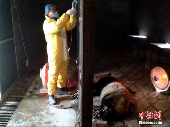 陕西圈养大熊猫感染犬瘟热已致2死