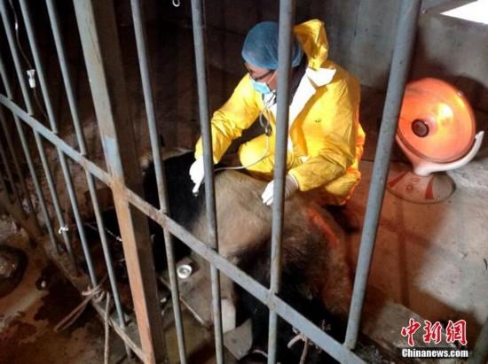 陕西圈养大熊猫感染犬瘟热已致2死【2】