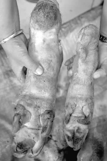 大白猪两年长到735斤 村民动用铲车杀年猪(图)