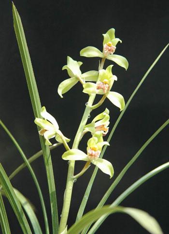 蕙兰金蜂巧-兰花是什么花 兰花品种一览