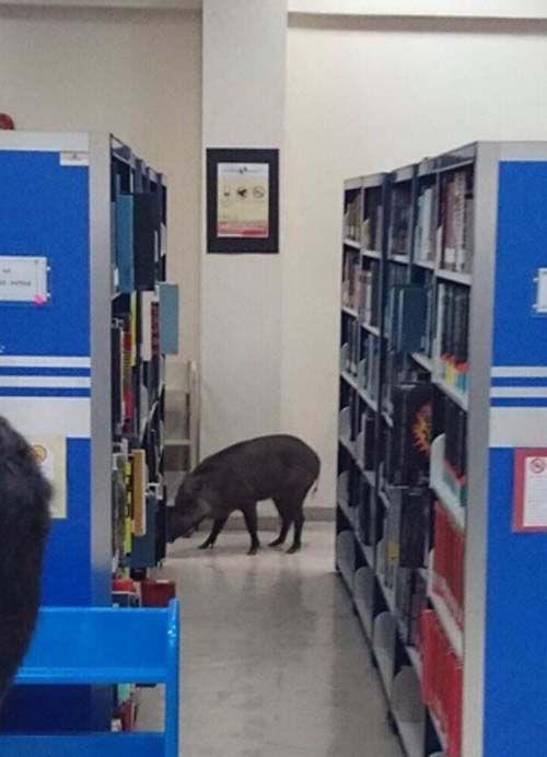 马来西亚野猪闯进大学校园 进图书馆