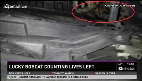 猫坚强:美国山猫被车撞进车罩内毫发无伤(图)