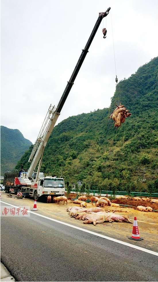高速路上司机打盹货车侧翻 数十头生猪被压死