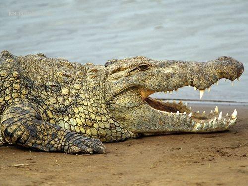怀孕妻子女子被鳄鱼吃掉 丈夫倾家荡产复仇