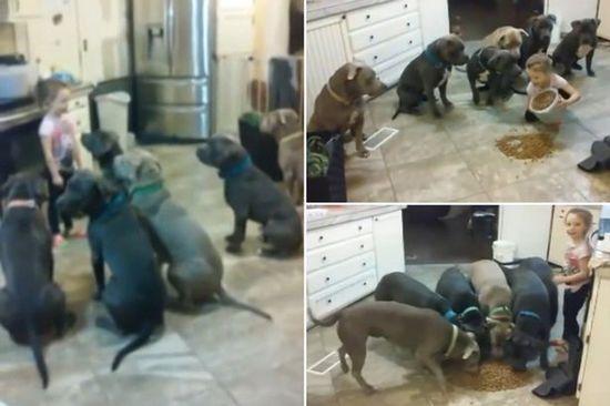 震惊!4岁女童徒手喂食6只巨型斗牛犬
